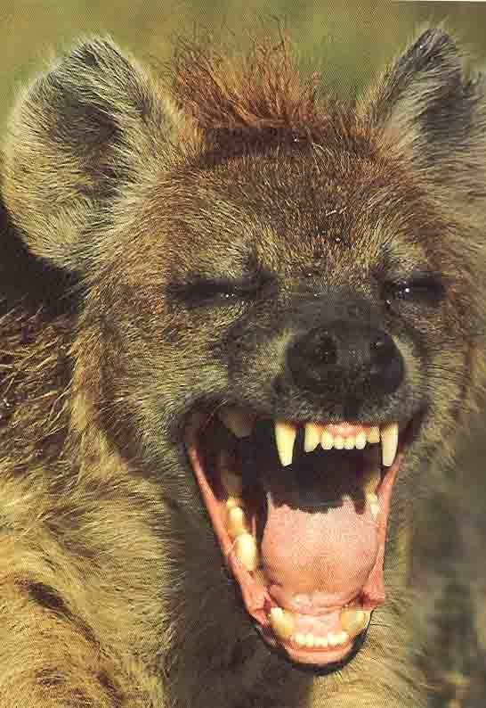 laughing hyena